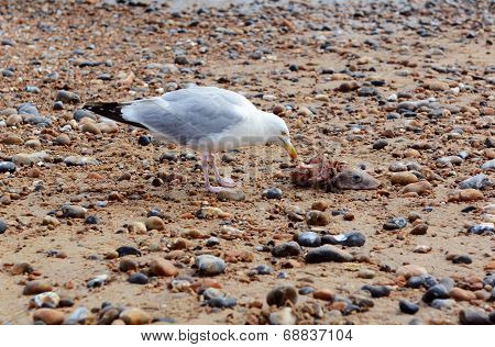 Seagull With The Carcass Of A Smooth Dogfish