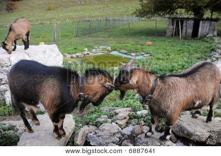 pair of swiss saanen goats butting heads of looking on
