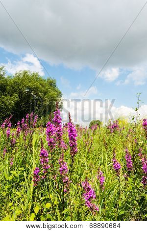 Purple Loosestrife And Other Wild Plants