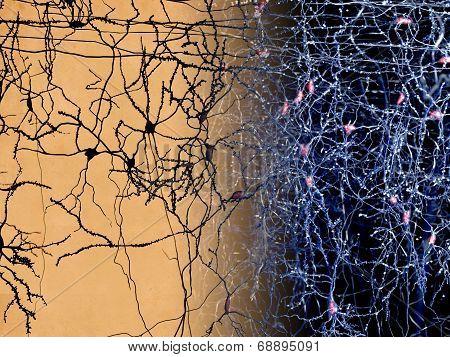 Cortex neurons