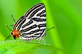 Close up white butterfly with black stripes and tail orange resting on a leaf of grass Club Silverline or Spindasis syama terana poster