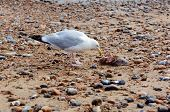Seagull inspects the carcass of a smooth-hound shark that has washed ashore poster
