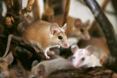 African, desert thorny mouse ( Acomys cahirus )  - domestic animal in the terrarium poster