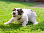 A small Jack Russell terrier crouching down and snarling poster