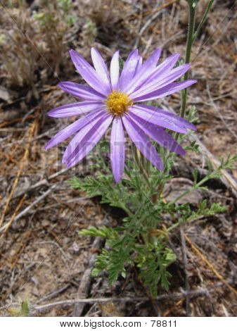 Purple  Wild Daisy