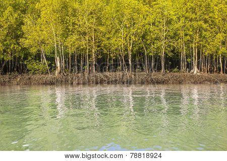Mangrove Forest In The National Park Lanta Krabi Thailand