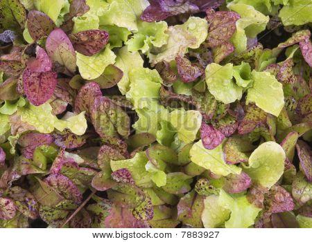 Lettuce Bed After Rain