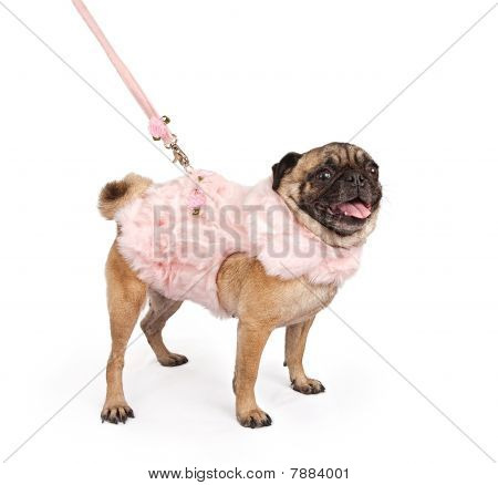 Pug Wearing A Pink Fur Outfit