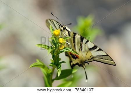 butterfly in natural habitat (scarce swallowtail)