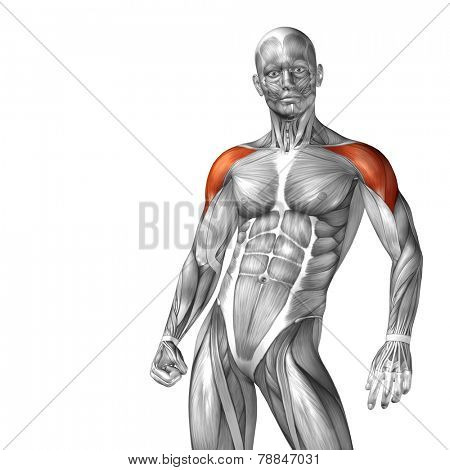 Concept or conceptual 3D deltoid or chest human anatomy or anatomical and muscle isolated on white background