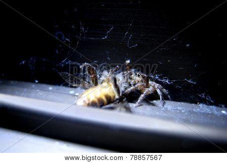 Spider eat bee