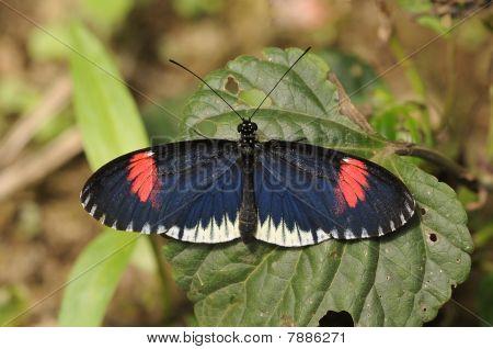 Heliconius Cythera melpomene