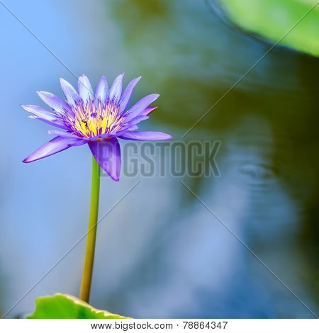 Beautiful Lilac Waterlily Or Lotus Flower In Blue Water, Closeup