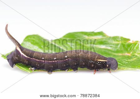 Caterpillar Of Macroglossum Sitiene Moth
