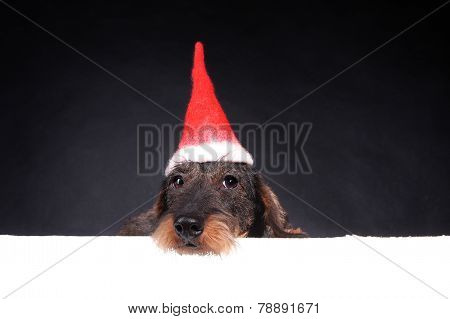 Wirehair Dachshund In Red Cap For Christmas