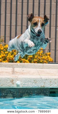 Jack Russell Terrier Jumping In Pool