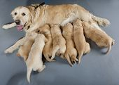 female dog of golden retriever with puppies poster