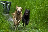 Golden and Labrador Retriever running in grassy field poster