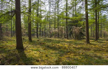 Blossoming trees in sunlight in a pine forest poster
