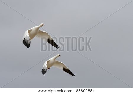 Two Snow Geese Gliding with Wings Extended