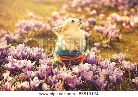 Chihuahua dog and gentle purple crocus flowers