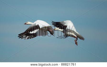 Two snow geese in flight
