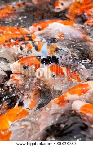 Feeding frenzy of koi carp showing plenty of movement.