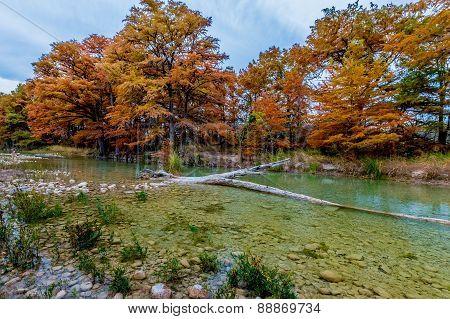Orange Cypress Trees on the Frio River at Garner State Park, Texas