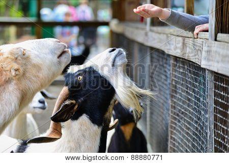Goats at pet zoo
