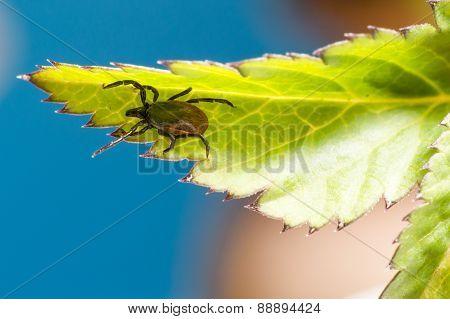 The castor bean tick (Ixodes ricinus)