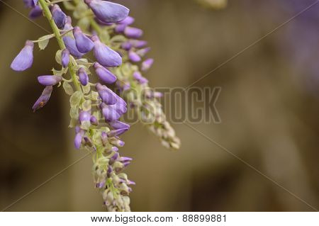 Wisteria Blooms Against A Brown Background