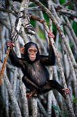 The kid of a chimpanzee. The cub of a chimpanzee frolics on roots mangrove thickets. poster