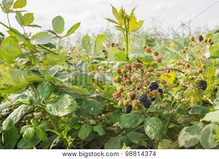 Wild Growing Blackberries From Close In The Summer Season