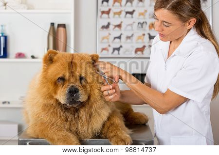Canine hairdresser in a beauty clinic with Chow Chow poster