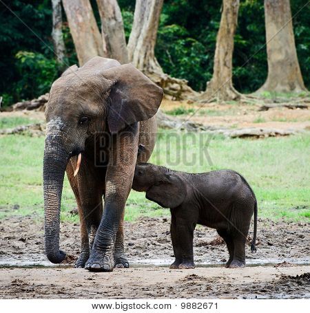 The Elephant Calf Drinks Milk At Mum.