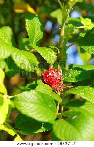 Mouldy Ripe Mespilus Fruit