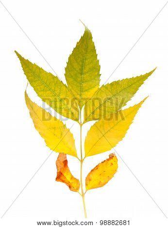 Autumnal Ash-tree Leaves