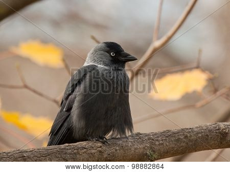 Western Jackdaw on the branch in autumn
