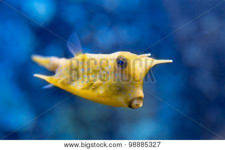 Fish Lactoria cornuta