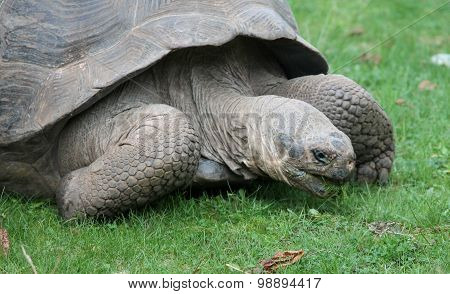 The Galápagos Tortoise Or Galápagos Giant Tortoise