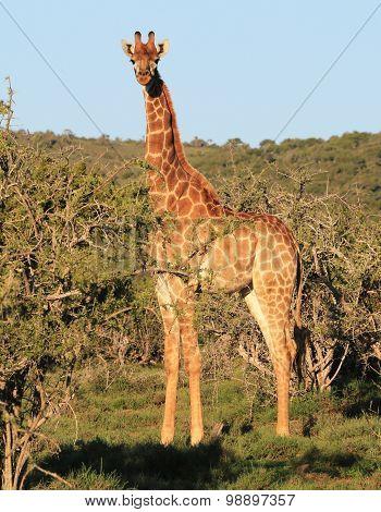 Wild African Giraffe