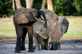 The African Forest Elephant (Loxodonta cyclotis) is a forest dwelling elephant of the Congo Basin. poster