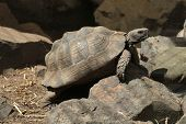 Greek tortoise (Testudo graeca), also known as the spur-thighed tortoise. Wild life animal.  poster