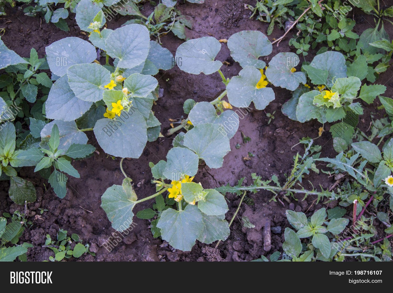 Cucumber Plants Garden Image Photo Free Trial Bigstock
