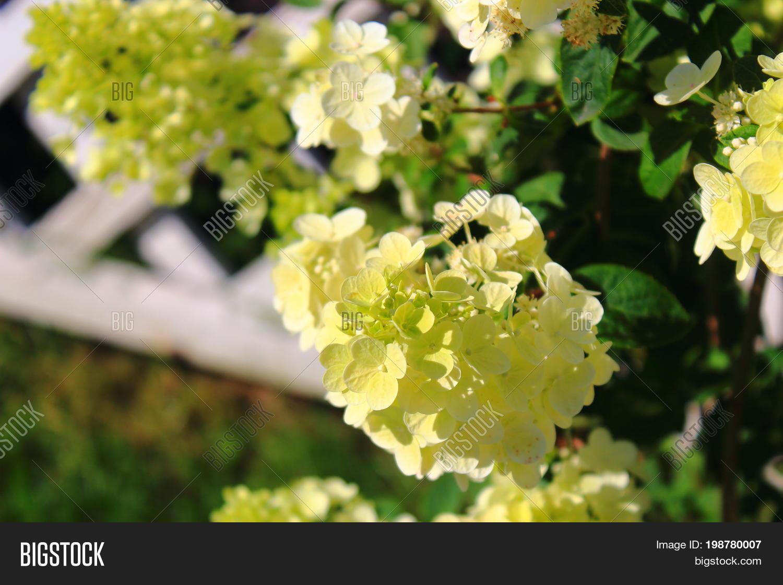 Viburnum Flowers Clusters On Bush Image Photo Bigstock