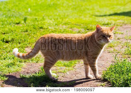 an orange cat in the grass in sunny weather
