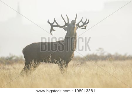 Red Deer Stag (cervus Elaphus) Bellowing Or Roaring On A Misty Morning Among Long Grass