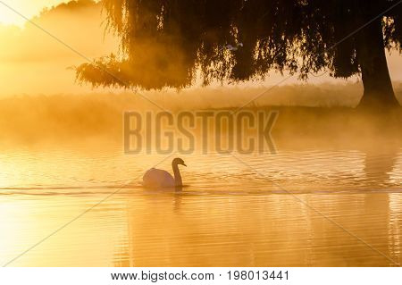 Silhouette Of A Single Mute Swan (cygnus Olor) On A Calm Peacful Misty Foggy Lake At Golden Sunrise