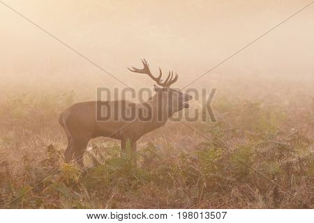 Red Deer Stag (cervus Elaphus) Roaring Bellowing Calling Showing Breath, On A Cold Morning