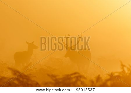 Red Deer Rut Stag (cervus Elaphus) Rounding Up Female Hinds At Sunrise